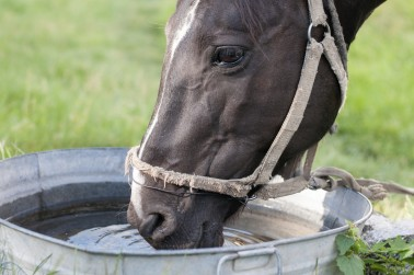 Horse drinking out of a water trough