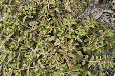 spotted-spurge-weed1